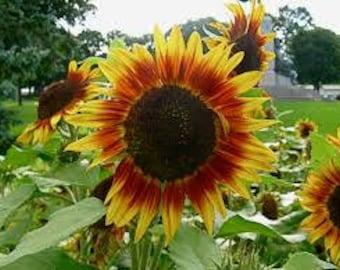 Solar Eclipse Mix Sunflower .7 grams