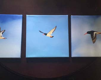 Oyster Catchers- Set of three Canvases, Photography, photos