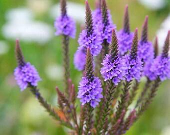 2oz organic Vervain , dried, verbena officinalis, natural, greek, herb, tea, bath, herbal, wicca, pagan, magic, witchcraft, medicine,