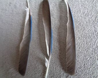 Real Blue Jay Primary Wing Feather