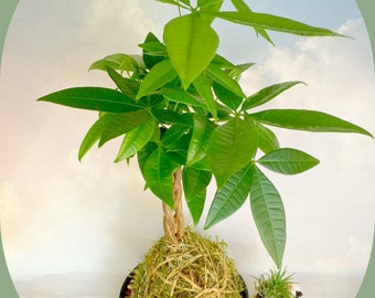 Kokadama Chinese Money Tree Plant,  A Japanese Bonsai Gift, Money Tree Plant, Pachira Aquatica Japanese Garden, A Gift For All Occasion