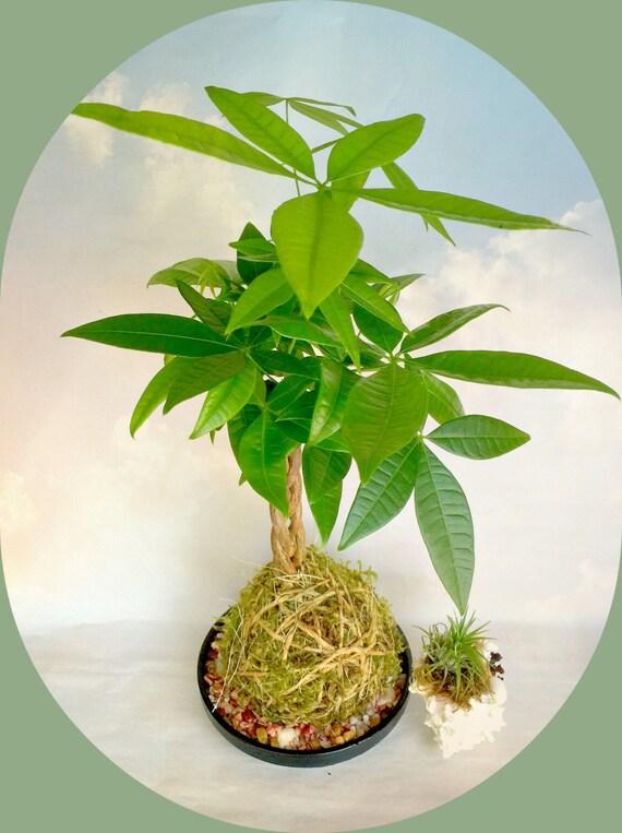 Kokadama Chinese Money Tree Plant A Japanese Bonsai Gift