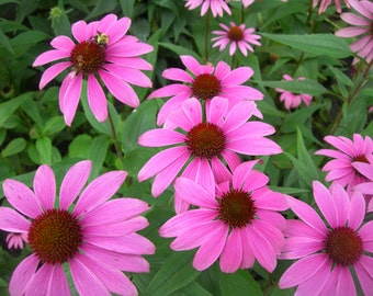 Echinacea Purpurea - Ruby Star (130 SEEDS)