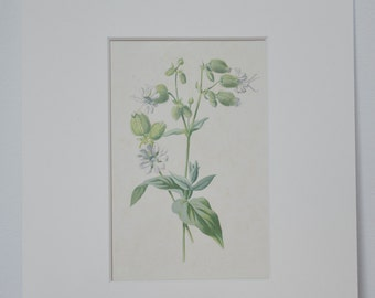 FREE UK POSTAGE Original Vintage Botanical Print, from 1902, by F.E.Hulme. Wild White Bladder Campion Flower and Foliage