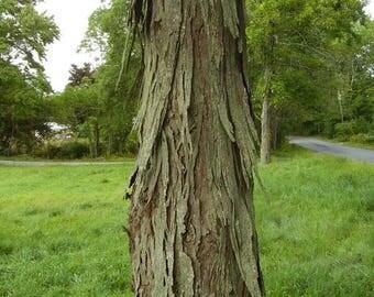 Shagbark hickory bark (1 lb)