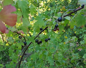Black Currant Plants 'Ben Lomond'
