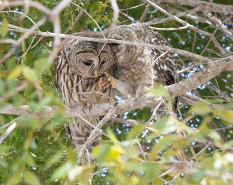 Window into a Mother Owl and Owlet's Love