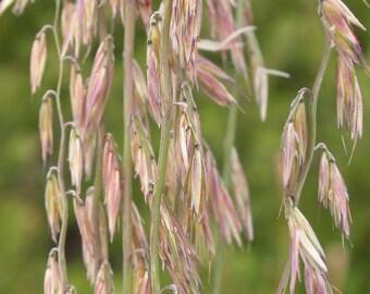 100 MESQUITE / SIDEOATS GRASS Ornamental Bouteloua Curtipendula Seeds *Flat Shipping