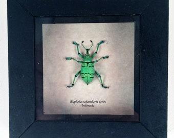 Real beetle framed - Eupholus schoenherri petiti