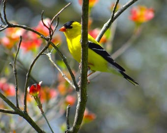 Golden Finch Resting On The Dogwood