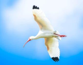 White Ibis Enjoying the day