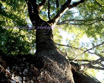 Oak Tree Photography Digital Image Download