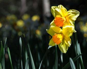Fine Art Photography, Nature Photography, Daffodils