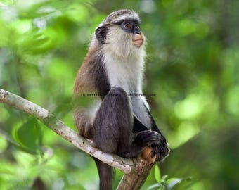 Tafi Atome, Volta Region, Ghana, West Africa • Mona monkey • Wildlife photograph printed on fine art matte paper
