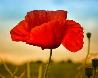Poppy Fine Art Print - Instant Digital Download