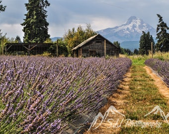 Mount Hood Lavender Fields