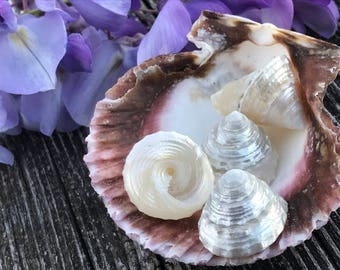 Four Turban Shells with Irridescent Orient