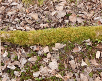 Live Moss Log, organic, 24 inches long