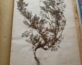Vintage Antique 1887/1889 French herbarium  MATRICARIA CAMOMILLA