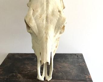 Large found skull / cow skull