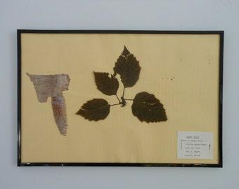 Vintage 1968 botanical specimen by Maine arborist - Paper Birch
