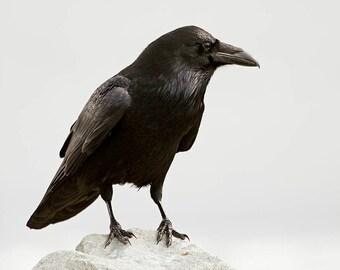 Just Being, Raven, corvid, birding, wildlife, corvid, crow, raven photograph, raven wall art, bird art, animal photography, wildlife decor