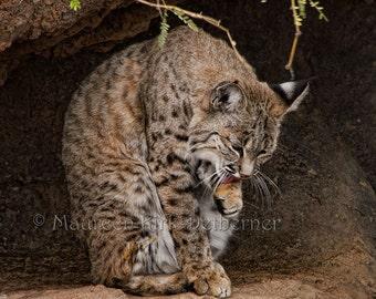 Bobcat, desert wildlife, bobcat photograph, Arizona Desert Museum, bobcat grooming, Tucson AZ, 20 x 20, southwestern, FastWinn Photography
