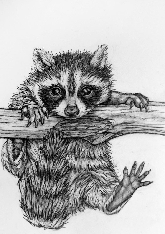 Original Raccoon Pencil Drawing 62 Baby Raccoon Raccoon Drawing