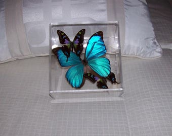 Real Beautiful Iridescent  Metallic Blue Morpho Butterfly with Mosaic Patterned Accents