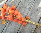 One Primitive Rustic Bunch Bouquet of Chinese Lanterns On Sale