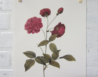 Redoutes Roses Book Page Plate Botanical Wall Art Burgundy Rosa Indica dichotoma Rose
