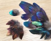 RARE Himalayan Monal Pheasant Feathers - super rare metallic iridescent exotic extraordinary unique hard to find pheasant