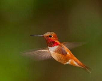 RUFOUS HUMMINGBIRD in FLIGHT - Photographic Print, Wall Art, Nature Art, Bird Art