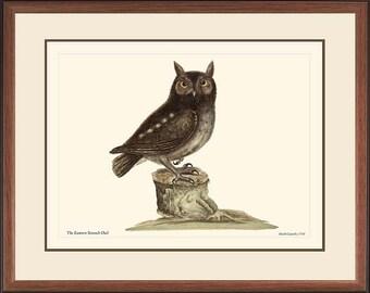 EASTERN SCREECH OWL - Vintage Catesby bird print reproduction  50