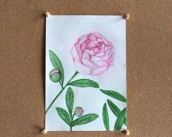 Pink Peony Original Watercolor Art