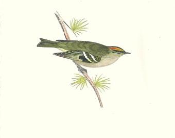 Bird Print Antique, Goldcrest, Bird Print, History of British Birds, F O Morris, 1851