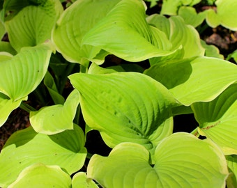 Hosta- Fragrant Bouquet  (FREE shipping in the U.S. only)