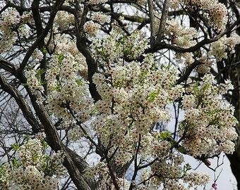 Yellowhorn Tree Seeds, Xanthoceras sorbifolium, Northern - 25 Seeds