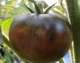 Chocolate Tomato OP, 10+ seeds