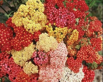 Yarrow Summer Berries Mix * An Array Of Colors!! 50 Seeds