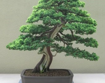 BONSAI - Chinese Juniper