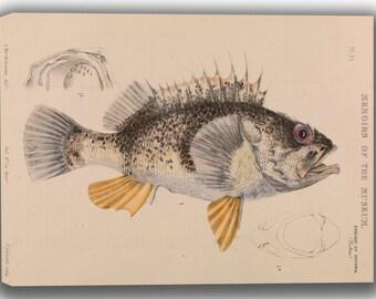 Arthur Bartholomew: Ocean Perch, Helicolenus Percoides. Fine Art Canvas. (04155)