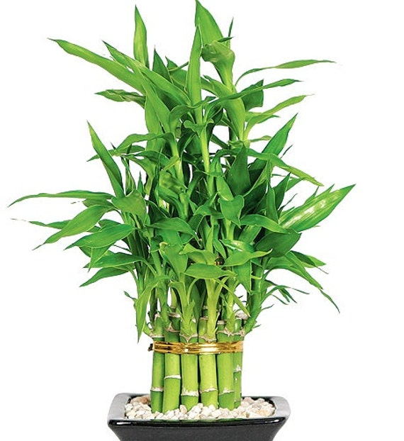 lucky bamboo plant live indoor plant