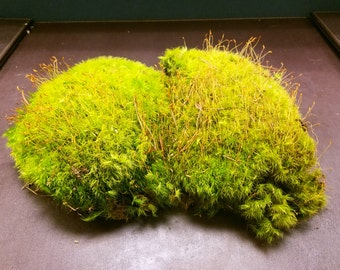 Live Mood Moss [Multiple Sizes] (Terrarium, Vivarium, Fairy Garden, Home Decor, Modeling)