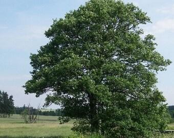 European Alder Tree Seeds (Alnus glutinosa) 50+Seeds