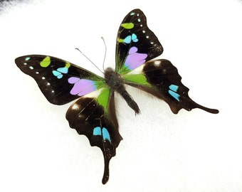 FREE SHIPPING Graphium Weiskei Purple Spotted Swallowtail Butterfly Taxidermy Riker Mount Spread A1- High Quality
