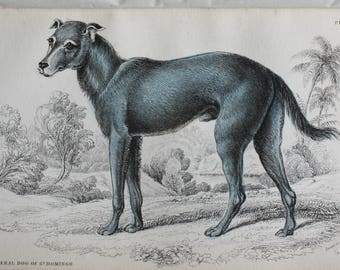 old etch of a Feral dog of st Domingo, 1840