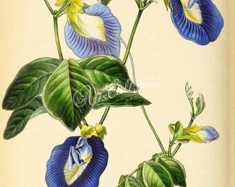flowers-26973 - Ternatea, clitoria ternatea, Asian pigeonwings, bluebellvine, blue pea, butterfly pea, cordofan Darwin vintage picture image