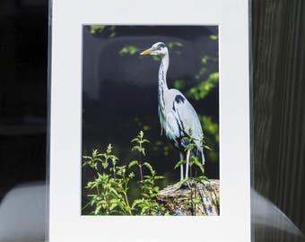 "Mounted Fine Art Photography Print - Grey Heron (10""x8"")"