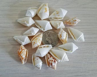 shells for sale shells bulk wholesale shells seashells diy beach wedding framing shells craft supplies seashells shells coneshells bulk cone